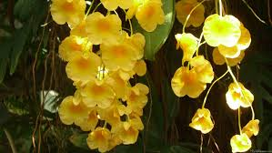 yellow orchids mlewallpapers hanging yellow orchids