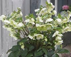 helleborus u0027molly u0027s white u0027 pp 25 685 rock garden plants cottage