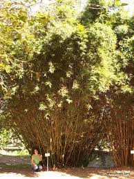 beautiful bamboo bambusa multiplex silverstripe green hedge