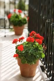 Flowering Patio Plants 38 Best Patios Plants Pots U0026 Baskets Images On Pinterest Patio