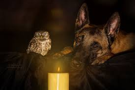 belgian shepherd owl this dog and owl are the unlikeliest of best friends