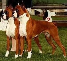 boxer dog reverse brindle boxer dog faq boxer world forums