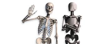 poseable skeleton skelly poseable anatomy model for artists proko
