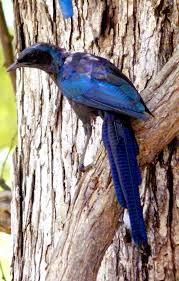 Oregon the traveler images Blue bird w long tail s luangwa park oregon budget traveler jpg