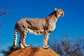 gifted children and underachievement is it a cheetah
