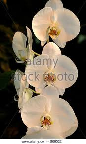 moth orchids stock photos u0026 moth orchids stock images alamy