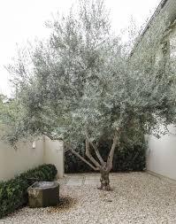 best 25 olive tree ideas on indoor olive tree indoor