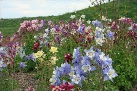columbine flowers growing columbine flower how to care for columbine