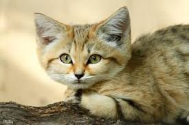rare arabian sand cat was spotted after 10 years by uakimov09 on