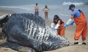 death of whale washed up in eastham investigated news the