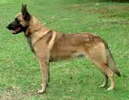 belgian shepherd killed von asgard working dog kennel breeding dogs