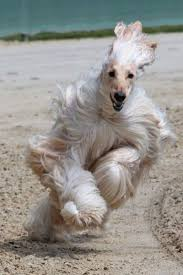 afghan hound rescue az afghan hound running through the sand facebook sabine maass