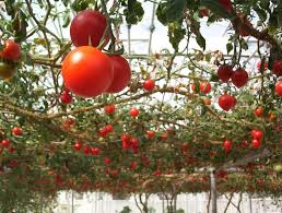 tomato trellis ideas u2013 how to make an overhead trellis for tomato