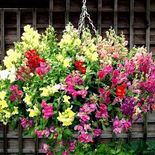 snapdragon flowers antirrhinum trailing mix snapdragon flowers seeds seeds
