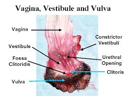 Female Sexual Anatomy Pictures Anatomy Yahoo Image Search Results Female Reproductive