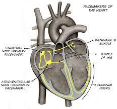 What Is The Main Function Of The Medulla Oblongata Experiment Heart Action Potentials