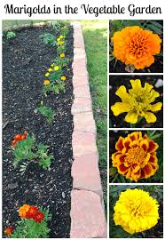 marigolds in the vegetable garden yes vegetables vegetable