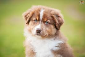 australian shepherd images five interesting snippets of information about the australian