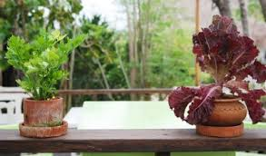 container vegetables indoors u2013 tips for growing indoor vegetables