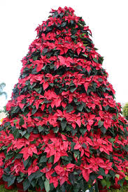 poinsettia tree poinsettia tree classics flowers