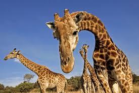 giraffes hum at night strange sounds