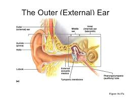 Photos Of Human Anatomy Ear Anatomy