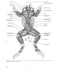 diagram of frog dissection dahms doug honors biology human