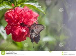 hibiscus flower with butterfly stock photo image 43351342