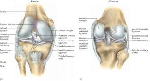 Lateral Patellar Ligament The Knee Joint Unity Companies Rr Of Nursing