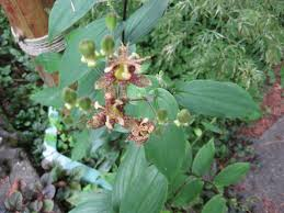 Lily Plant Toad Lily Plants How To Grow And Care For Toad Lilies Tricyrtis