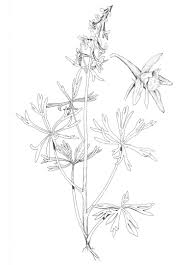 larkspur flower coloring page delphinium flowers drawing flower