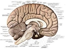 Anatomy Of A Cats Eye Neuroanatomy Wikipedia