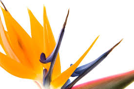 bird of paradise flower bird of paradise flower meaning flower meaning