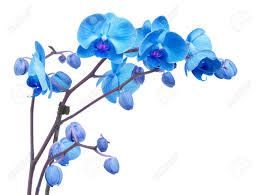 blue flowers orchid branch with blue flowers isolated on white background stock