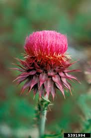 native alberta plants invasive species council of manitoba nodding thistle
