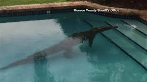 a backyard crocodile chills for a while in a backyard pool today com