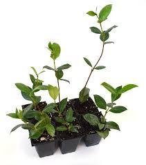amazon com 9greenbox confederate jasmine 6 pack garden