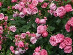 useful rose gardening tips that will help you in growing beautiful