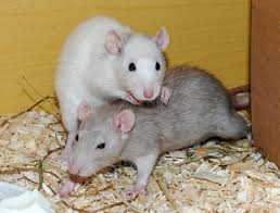 Best Bedding For Rats How To Clean Cages The Right Way Ratcentral