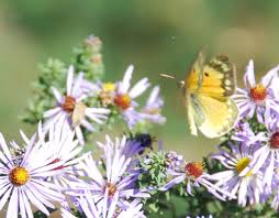 gaia garden aromatic aster the most popular plant in the fall