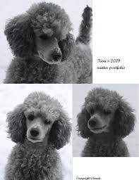 poodles long hair in winter the silver poodle thread page 9 poodle forum standard poodle