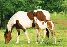american paint horse the life of animals