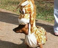 Giraffe Hat Meme - man giraffe dog know your meme