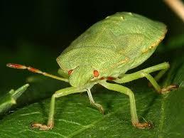 was ist das für ein insekt eine wanze oder was urlaub insekten grüne stinkwanze faule grete heteroptera makro view