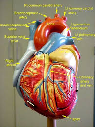 Pgcc Anatomy And Physiology Lab Practical 24 Best Dr Beaganoff Images On Pinterest Physiology Anatomy And