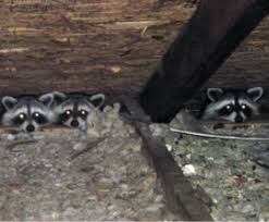 How To Get Rid Of Raccoons In Backyard Raccoons In The Attic Or Chimney The Humane Society Of The