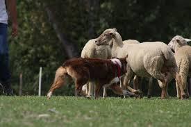 australian shepherd e cavalli quarter horses double e giacomelli enea e elena pesaro urbino