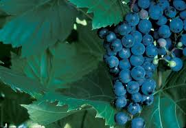 Planting Grapes In Backyard Growing Grapes For Home Use Yard And Garden University Of