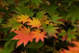 other hardy asian maples mikasa yama davidsans japanese maples