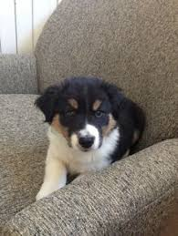 australian shepherd and border collie mix champ he is done playing water break border collie they are